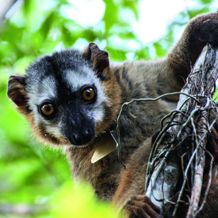 The red-fronted lemur