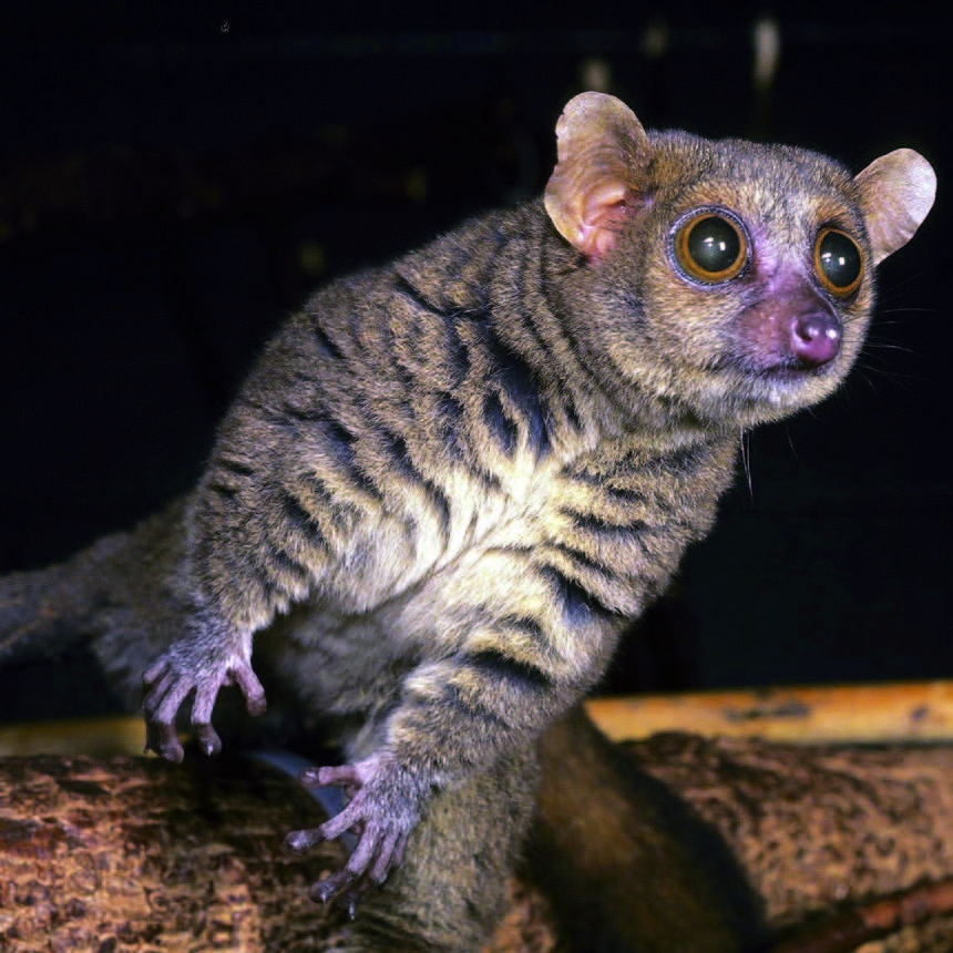 The northern giant mouse lemur
